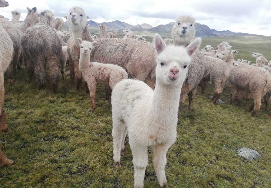 February 2019 CC Tomas: baby Alpaca with features of enhanced Huacaya race, after having been bred with full stud race